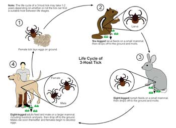 Ticks follow a three-host life cycle. In their larval stage, they attach to a small host such as a rodent. They take one blood meal from that host, then drop off. Their second feeding is from a larger mammal, and the third from a mammal such as humans, pets, deer and larger animals. Source: Purdue University.